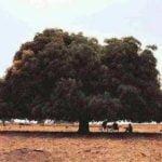 """"""" काला अंब """"  एक आम का पेड़ जिसको काटने से निकलता था खून"""