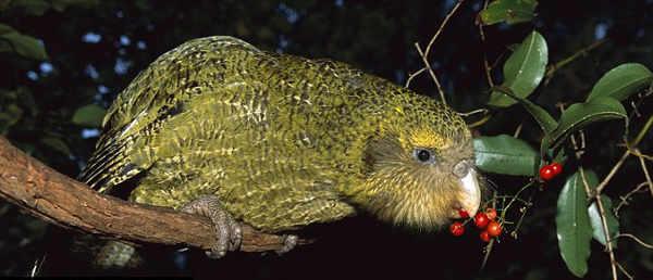 Kakapo- Information in Hindi
