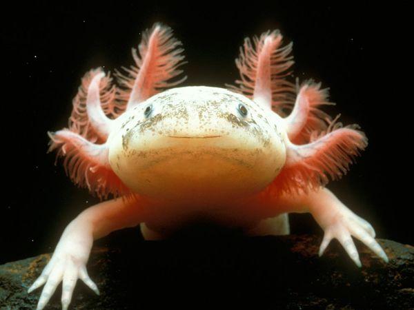 Axolotl Information in Hindi