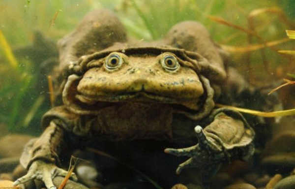 Titicaca water frog Information in Hindi