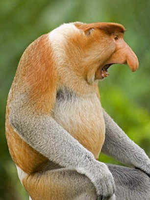 Proboscis monkey Information in Hindi