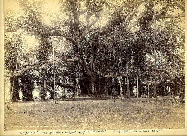 The great banyan tree 2