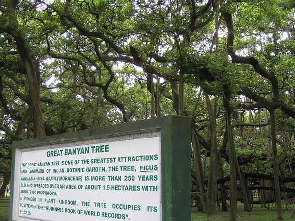 The great banyan tree 3