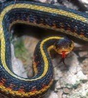 Garter Snake mating in Hindi
