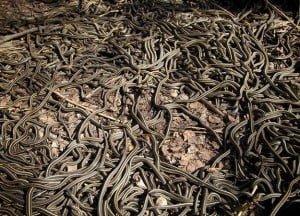 Hindi, Story, Kahani, History, Garter snake, Annual Mating, Biggest Animal Sex orgy,