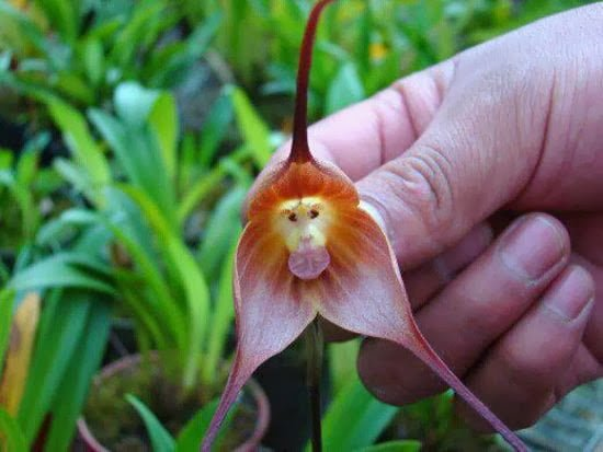Monkey Orchid, A flower, Hindi, Information, Jankari, Ecuador, Colombia, Peru