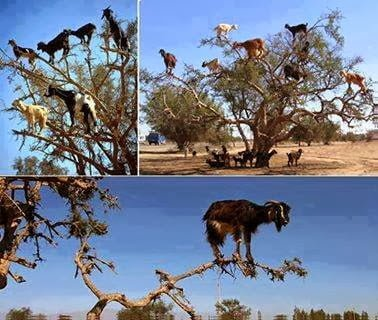 The Amazing Tree-Climbing Goats of Morocco