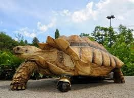 Tortoise With Wheel