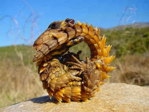 Armadilllo Girdled Lizard
