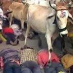 अजीब परम्परा – मनोकामना पूर्ति के लिये जमीन पर लेटे लोगों के ऊपर छोड़ दी जाती हैं गायें