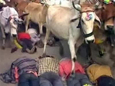 Bizarre Indian Tradition - Indian Men Get Trampled by Cow, Ujjain. Madhy Pradesh