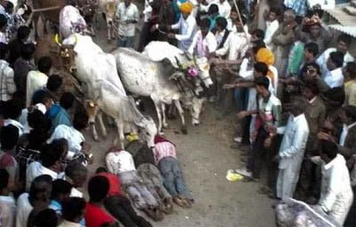 Cow trampling 3