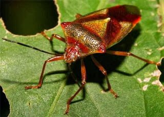 stink bugs, eating as a food by human, Hindi information, Jnakari