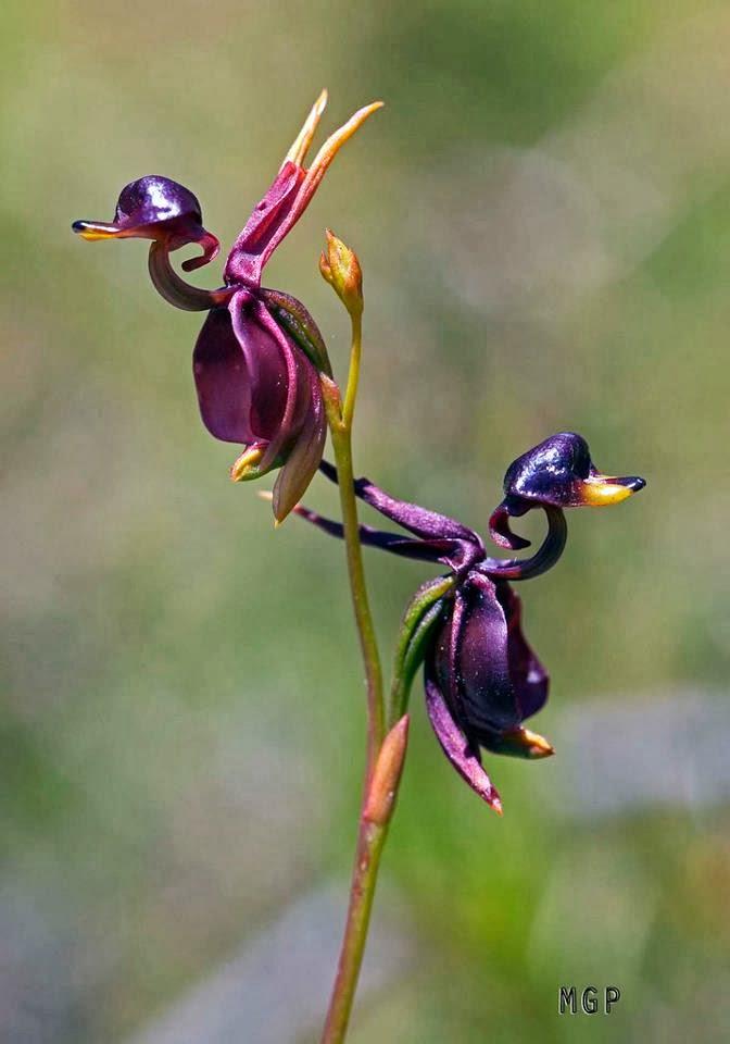 Flying Duck Orchid, Hindi, Information, Jankari, Amazing, Adbhut, Look Like Duck,