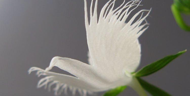 White Egret Orchid, Hindi, Information, Jankari, Amazing, Adbhut, Look Like Egret,