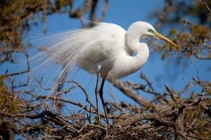 White Egret Bird