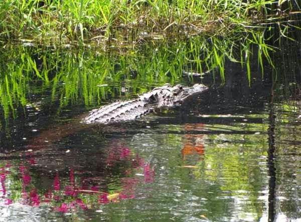 Okefenokee Swamp - Georgia, Hindi, History, Story, Information, Itihas, Janakari , Khanai, Dangerous, Deadly, Khatarnak,