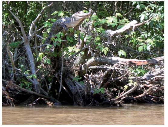 Crocodile Can Climb Tree, Hindi, Article, Story, News, Kahani, About, Crocodile, Alligator, Climb, Tree, Amazing, World, Australia, North America, Africa, Properties, Basking,…