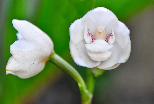 Dove Orchid or Holy Ghost Orchid, Hindi, Information, Jankari, Amazing, Adbhut, Look Like Dove,