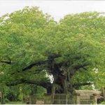 पारिजात वृक्ष – किंटूर – छुने मात्र से मिट जाती है थकान – महाभारत काल से है संबध