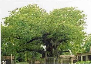 Parijaat Tree, Kintoor, Barabanki, Story, History, Kahani, Itihas, Information, Jankari, Hindi