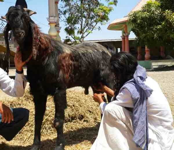 Male Goat Gives Milk in Barbara Village