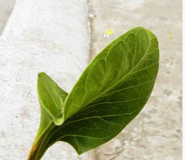 Leaf of a krishna wat tree,  Hindi, Story, History, Kahani, Itihas, Information,