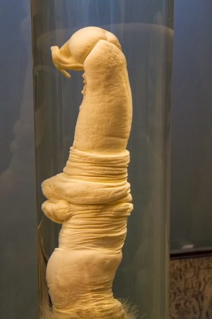 Penis of Giraffe