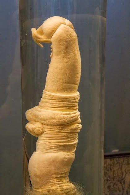 Penis of Giraffe