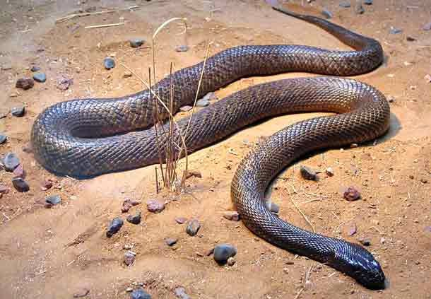 Inland Taipan, Hindi, Information, Jankari, History,