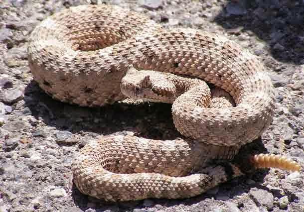 Rattle Snake, Hindi, Information, Jankari, History,