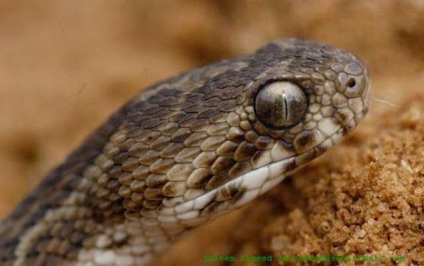 Saw Scaled Viper, Hindi, Information, Jankari, History,