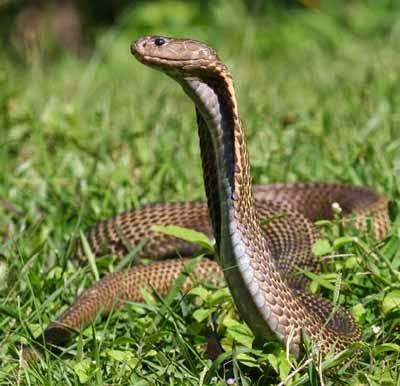 Philippine Cobra, Hindi, Information, Jankari, History,
