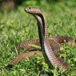 दुनिया के 10 सबसे विषैले सांप : Top 10 Most Venomous Snake Of World