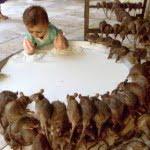 करणी माता मंदिर, देशनोक (Karni Mata Temple , Deshnok) –  इस मंदिर में रहते है 20,000 चूहे, चूहों का झूठा प्रसाद मिलता है भक्तों को