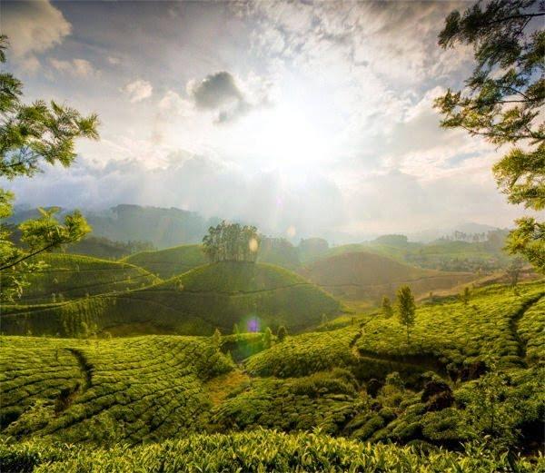Munnar Tea  Gardens, Kerala, Hindi, Information, History, Story, Jankari, Kahani, Itihas