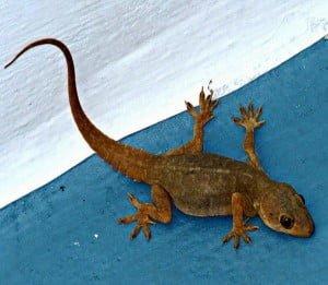 Shakun Shastra - Shakun Apshakun for Lizard in Hindi