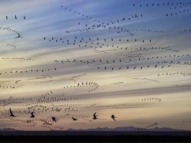 Arctic Tern - Migration History & Information in Hindi