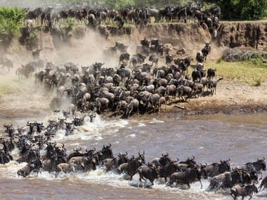 African Wildebeest, Migration History & Information in Hindi