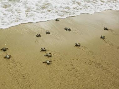 Leatherback Sea Turtles, Migration History & Information in Hindi