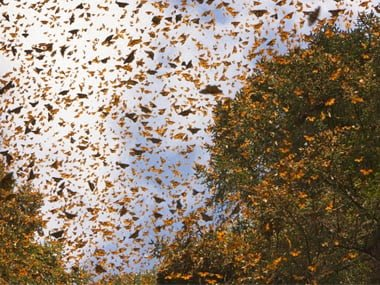 Monarch Butterfly, Migration History & Information in Hindi
