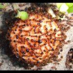 क्या आपने कभी खाई है 'चापड़ा' यानी की 'लाल चींटी की चटनी' ?