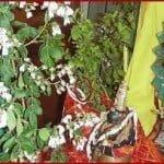 पौराणिक कहानी – क्यों होता है तुलसी-शालिग्राम का विवाह?