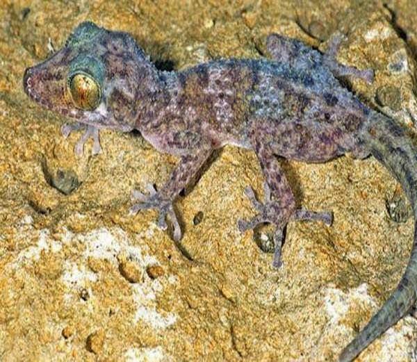 Nocturnal Gecko - Paroedura Hordiesi  information in Hindi