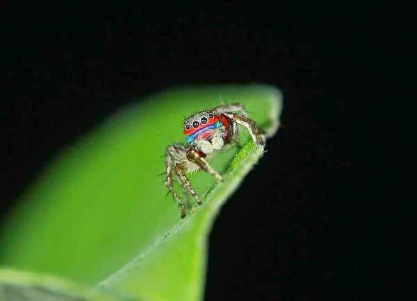 Jumping Spider - Stenaelurillus  information in Hindi