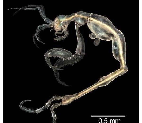 Skeleton Shrimp - Liropus Minusculus information in Hindi
