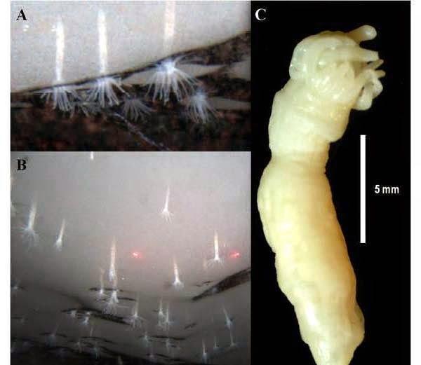 Ice Anemones - Edwardsiella Andrillae  information in Hindi