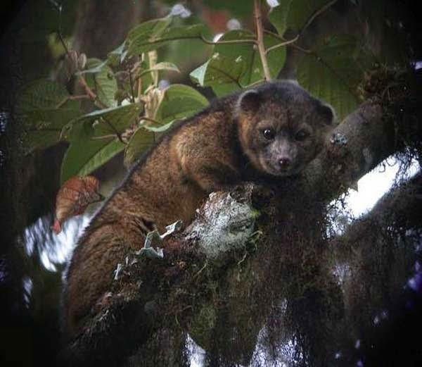 Tree-Living Olinguito  information in Hindi