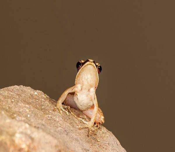 Urban Golden-Backed Frog - Hylarana urbis  information in Hindi