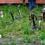 Snake Village Story: एक गाँव जहां हर साल पैदा होते है 30 लाख ज़हरीले सांप